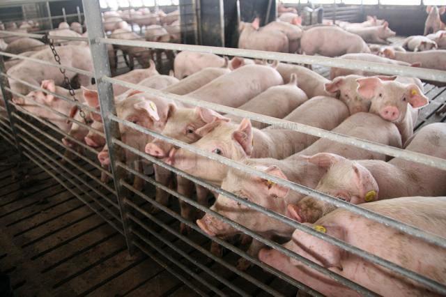 Pesta porcină africană evoluează în 40 de judeţe, cu 541 de focare