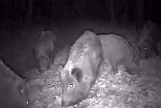 Imagini nocturne din Neamţ cu o turmă de porci mistreţi care se pregăteşte de iarnă