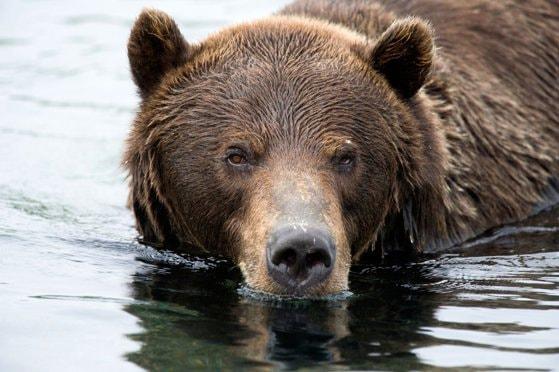 Incident bizar în Rusia: O ursoaică şi puiul ei au fost împuşcaţi după ce s-au urcat la bordul unui submarin nuclear