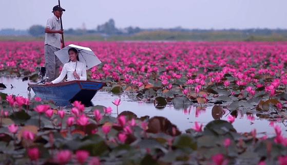 Lacul cu nuferi roz: o privelişte ireală, în inima Thailandei