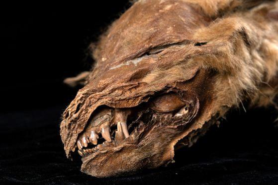 Descoperire majoră, în solul îngheţat din Canada. Un pui de lup de acum 57.000 de ani le dezvăluie cercetătorilor un crâmpei de istorie