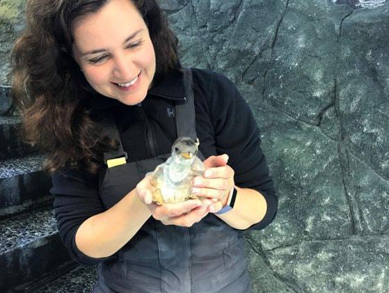 Pinguinii de la un acvariu din Australia se bucură de primul lor Crăciun