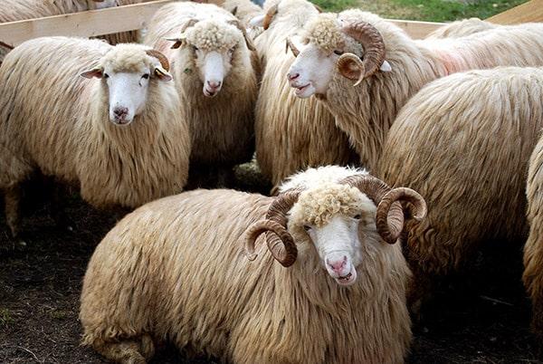 Dezastru ecologic cauzat de miile de oi înecate, după ce nava Queen Hind s-a răsturnat. Unde au fost găsite cadavrele