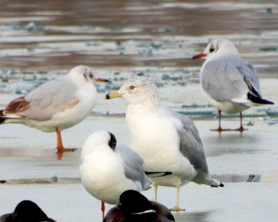 O pasăre originară din America de Nord, observată în premieră pe Lacul Morii