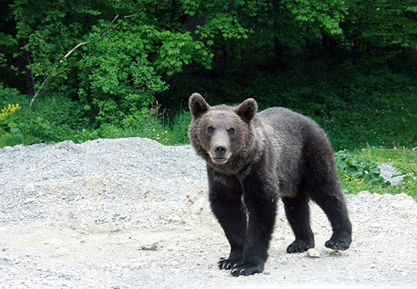 Un bărbat a fost atacat de urs, în Prahova. Victima are răni grave